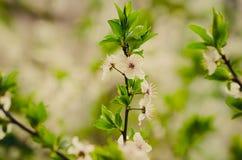 kwitnie wiśni Fotografia Stock