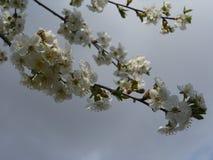 Kwitnie wiśnia Obrazy Royalty Free