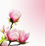 kwitnie wiosna magnoliowego drzewa Zdjęcie Royalty Free