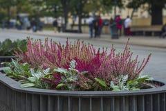 Kwitnie wrzos na ulicach Warszawa, Polska obraz royalty free
