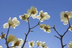 kwitnie yulan Zdjęcie Royalty Free