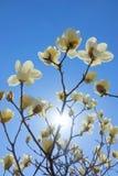 kwitnie yulan Zdjęcie Stock