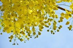 kwitnie złotą prysznic Zdjęcia Stock