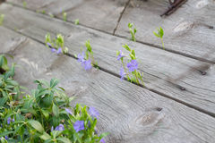 kwitnie ziele Zdjęcie Stock