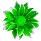 Kwitnie zieloną białą chryzantemę odizolowywającą na białym tle Zakończenie bell świątecznej element projektu Fotografia Stock