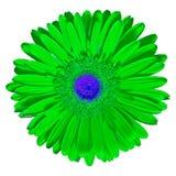 Kwitnie zielonego błękitnego Gerbera odizolowywającego na białym tle Zakończenie Makro- bell świątecznej element projektu Obrazy Stock