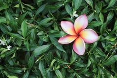 kwitnie zielonego liść Obraz Royalty Free