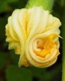 kwitnie zucchini Obraz Stock