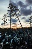 Kwitnienie agawy Zdjęcia Stock