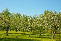 kwitnienie jabłczany ogród Zdjęcie Royalty Free
