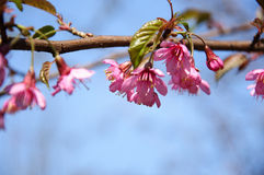 Kwitnienie Sakura w ogródzie Zdjęcie Stock