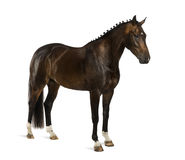KWPN - Dutch Warmblood, 3 years old - Equus ferus caballus. Isolated on white royalty free stock photo
