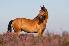 KWPN horse in the Dutch heathland stock images