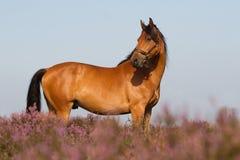 KWPN koń w Holenderskim heathland Obrazy Stock