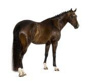 KWPN - Nederlandse Warmblood, 3 jaar oud - Equus-feruscaballus Stock Afbeeldingen
