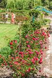 KYIV,乌克兰:在蔷薇花坛的开花的玫瑰 库存图片