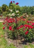 KYIV,乌克兰:在蔷薇花坛的开花的玫瑰 免版税库存图片