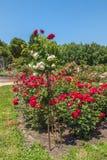 KYIV,乌克兰:在蔷薇花坛的开花的玫瑰 图库摄影