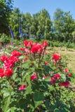 KYIV,乌克兰:在蔷薇花坛的开花的玫瑰 免版税库存照片