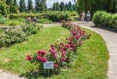 KYIV,乌克兰:在蔷薇花坛的开花的玫瑰 库存照片