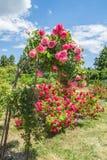 KYIV,乌克兰:邮票在蔷薇花坛上升了 库存图片