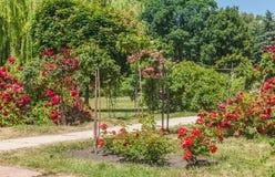 KYIV,乌克兰:邮票在蔷薇花坛上升了 图库摄影