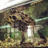 KYIV żółw w zbiorniku w Irpin, UKRAINA - fotografia stock