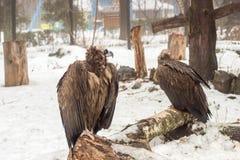 Kyiv, Ουκρανία - 3 Φεβρουαρίου 2019: Ζωολογικός κήπος Kyiv Σταχτύς γύπας ή μαύρος γύπας στοκ εικόνα