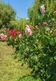 KYIV, УКРАИНА: цветя розы в Rosarium Стоковая Фотография