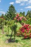 KYIV, UCRANIA: rosas florecientes en el rosario Foto de archivo