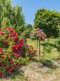 KYIV, UCRANIA: rosas florecientes en el rosario Imágenes de archivo libres de regalías