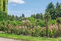 KYIV, UCRANIA: rosas florecientes en el rosario Fotografía de archivo