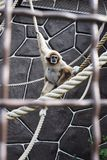 Monkey in zoo. KYIV, UKRAINE - AUGUST 26, 2018: Monkey in zoological garden in the summer royalty free stock photography