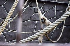 Monkey in zoo. KYIV, UKRAINE - AUGUST 26, 2018: Monkey in zoological garden in the summer stock photography