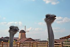 Ostriches in zoo. KYIV, UKRAINE - AUGUST 26, 2018: Ostriches in zoological garden in the summer royalty free stock photo