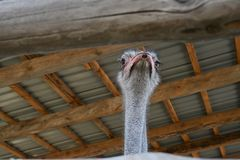 Ostriches in zoo. KYIV, UKRAINE - AUGUST 26, 2018: Ostriches in zoological garden in the summer royalty free stock photos