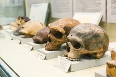 Free KYIV, UKRAINE - JUNE 16, 2018: National Museum Of Natural Sciences Of Ukraine. Human Ancestry, Anatomy And Evolution Royalty Free Stock Images - 156646529