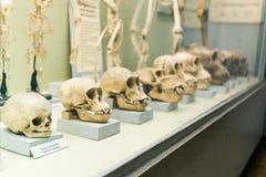 Free KYIV, UKRAINE - JUNE 16, 2018: National Museum Of Natural Sciences Of Ukraine. Human Ancestry, Anatomy And Evolution Stock Image - 156646561