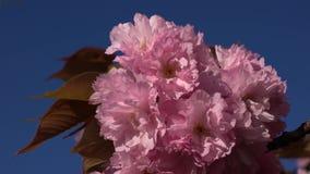 Kyla slappt vårbris som vacklar Japan den körsbärsröda filialen i morgonen stock video