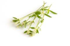 Kyllinga brevifolia Rottb on white background. Royalty Free Stock Photo