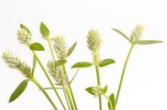 Kyllinga brevifolia Rottb on white background. Stock Images