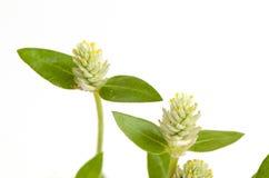 Kyllinga brevifolia Rottb on white background. Stock Photos