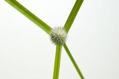 Kyllinga sedge flower top view close up Stock Image
