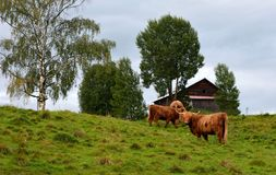 Kyloe cattles in Sweden Royalty Free Stock Photography