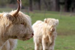Kyloe Highland Cattle with Calf closeup portrait Royalty Free Stock Photography