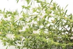 Kyndel Satureja Hortensis, på vit bakgrund Arkivbild
