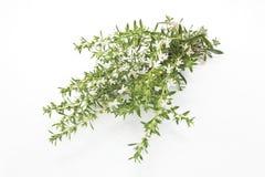 Kyndel Satureja Hortensis som isoleras på vit Arkivfoto