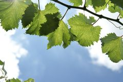 Kyoho grape leaves. Kyoho grape leaves with sky background Royalty Free Stock Images