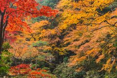 Autumn Coloful Season Red Maple Leaf Garden. Kyoto Autumn Coloful Season Red Maple Leaf Garden royalty free stock photography