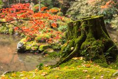 Kyoto Autumn Coloful Season Red Maple Leaf Garden. With green moss on tree stock photos